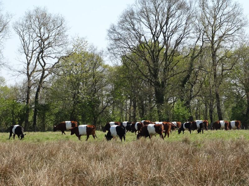 Een kudde Lakenvelders in het Eemboerveld