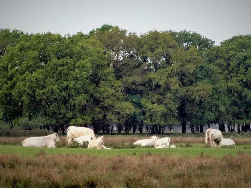 Charolais koeien en kalfjes in de Breedwisch